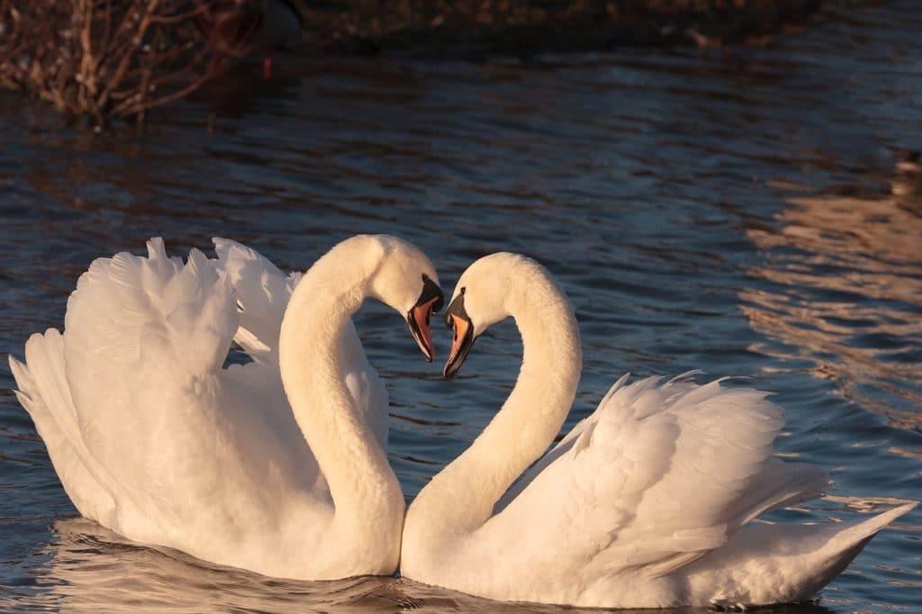 a. tweelingen swans-2116649_1280