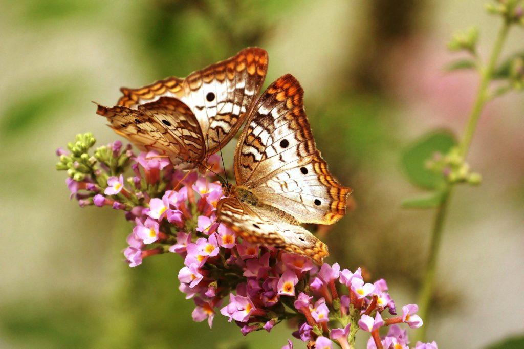 butterfly ElinaElena743549_1920
