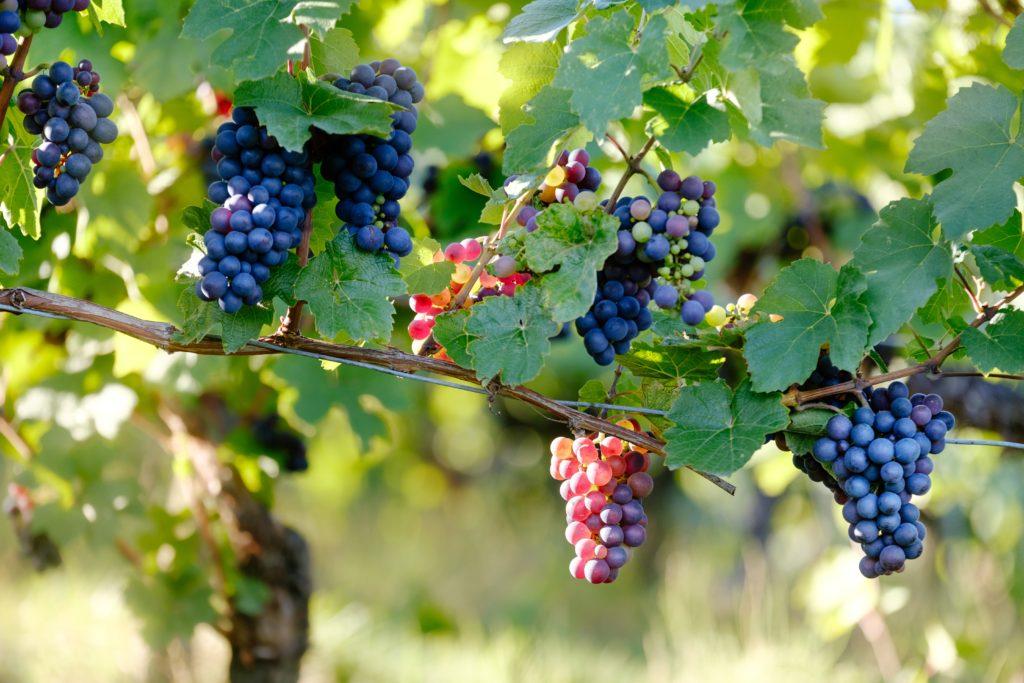 Druivenranken samuel-zeller-339493