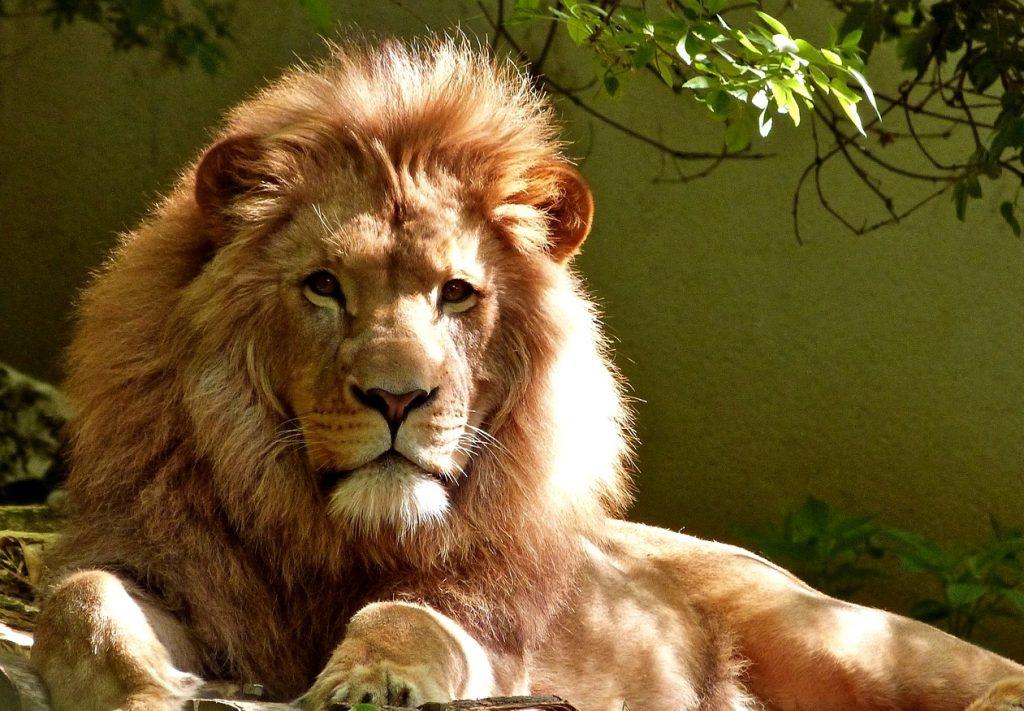 a. authentieke kracht lion-1840092_1280